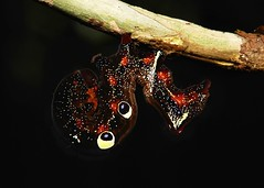 The Cheshire Cat smiled at Alice...... (John Horstman (itchydogimages, SINOBUG)) Tags: insect macro china yunnan itchydogimages sinobug moth lepidoptera caterpillar larva calpinae erebidae black topf25 topf50 tweet top
