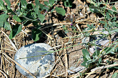 Common Blue - female (tinlight7) Tags: butterfly blue commonblue female brown chuy kyrgyzstan taxonomy:kingdom=animalia animalia taxonomy:phylum=arthropoda arthropoda taxonomy:subphylum=hexapoda hexapoda taxonomy:class=insecta insecta taxonomy:subclass=pterygota pterygota taxonomy:order=lepidoptera lepidoptera taxonomy:superfamily=papilionoidea papilionoidea taxonomy:family=lycaenidae lycaenidae taxonomy:subfamily=polyommatinae polyommatinae taxonomy:tribe=polyommatini polyommatini taxonomy:genus=polyommatus polyommatus taxonomy:species=icarus taxonomy:binomial=polyommatusicarus icarusblauwtje argoazzurro icaro argusbleu argusicare lycneicare icare azurdicare azurdelabugrane azurcommun blavetacomuna polyommatusicarus hauhechelbluling gemeinerbluling  taxonomy:common=icarusblauwtje taxonomy:common=argoazzurro taxonomy:common=icaro taxonomy:common=argusbleu taxonomy:common=argusicare taxonomy:common=lycneicare taxonomy:common=icare taxonomy:common=azurdicare taxonomy:common=azurdelabugrane taxonomy:common=azurcommun taxonomy:common=blavetacomuna taxonomy:common=commonblue taxonomy:common=hauhechelbluling taxonomy:common=gemeinerbluling taxonomy:common=