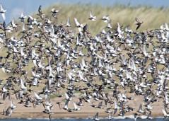 Murmuration (wessyfiesta) Tags: murmuration golden plover birds spurn
