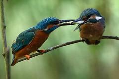 Venerd pesce. Zitto e mangia !     :(( (carlo612001) Tags: kingfisher martinpescatore oasidisantalessio food eat eating unlimitedphotos
