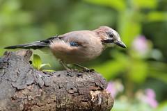 European Jay (david.england18) Tags: europeanjay jay smallbirds various tits blue coal great queensparkheywood canon7d canonef300mmf4lisusm birdsuk
