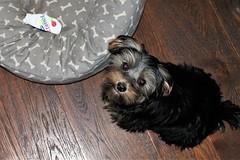 Flo Yorkie Poo Puppy (@oakhamuk) Tags: flo yorkiepoo puppy martinbrookes
