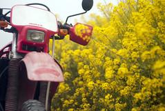 L1008463c (haru__q) Tags: leica m8 leitz summicron field mustard 菜の花 honda crm250r motorcycle 2st