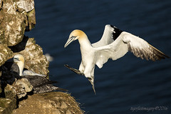 Back to the nest (Ross Forsyth - tigerfastimagery) Tags: scotland wildlife seabird gannet northerngannet cliffs wings feather landing extended trouphead rspb naturereserve moray morayshire coast nature fantasticwildlife animalplanet