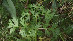 Seseli libanotis (Moon Carrot) leaves, Cherry Hinton Chalk Pits, Cambs, 21.8.16 (respect_all_plants) Tags: mooncarrot seselilibanotis cherryhinton chalkpits cambridge cambs cambridgeshire wildflowers