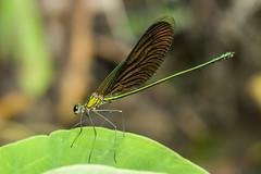 Neurobasis chinensis chinensis (Linnaeus, 1758) male (zleng) Tags: dragonfly damselfly odonata insect insectcloseup winged macro nature naturecloseup naturallight macrophotography macrodreams macroshot malaysia tropical tropicalforest tropicalinsect sony sonya77