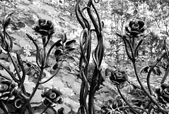 115. Gate of roses - 116 pictures in 2016 (Krasivaya Liza) Tags: 115 gate gates gateofroses wroughtiron iron bw blackandwhite floral flowers 116picturesin2016 ga georgia