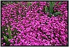 Sonnenberg Gardens & Mansion Historic Park ~ Canandaigua NY ~ Pink Cluster (Onasill ~ Bill Badzo) Tags: sonnenberg gardens mansion historic park canandaigua ny ontario county onasill nrhp flower queen anne architecture stamen light shadow finger lakes organic pattern texture bright plant serene food vegetable yellow outdoor photo border pink canon sl1 sigma lens 18255mm macro ontariocounty flowers fingerlake westernnewyork bokehs rebel 18250mm cluster petal black background