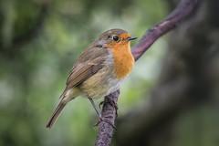 Robin (Linton Snapper) Tags: robin bird gardenbird canon lintonsnapper