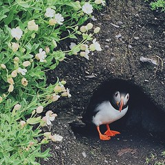 Another new friend #ireland #travel #puffin #bird #VSCOcam
