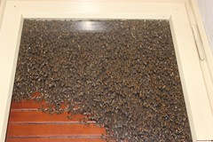 My bathroom invaded by a swarm of bees. (Tommaso Medri Photo ...My life around the world...) Tags: italy nature canon italia bees bee ita nofilter nofilters canon600d