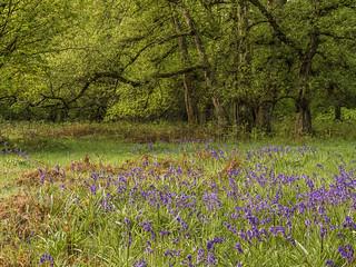 Spring in Ashridge