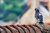 Pigeon biset(Columba livia) (yann.dimauro) Tags: pigeon rhône oiseau rhone givors biset
