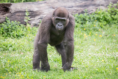 2015-05-02-11h17m32.BL7R4557 (A.J. Haverkamp) Tags: france zoo gorilla frankrijk dierentuin romagne lavalléedessinges poitoucharentes westelijkelaaglandgorilla canonef100400mmf4556lisusmlens httpwwwlavalleedessingesfr
