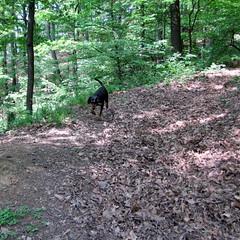 szagot fogott / following the scent (debreczeniemoke) Tags: dog forest spring hunter kutya vadász tavasz erdő frakk transylvanianhound erdélyikopó canonpowershotsx20is transylvanianbloodhound followingthescent szagotfogott