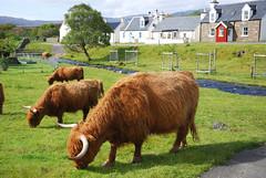 Crodh (Mrtainn) Tags: scotland kuh cow highlands alba escocia ku ko mucca highlandcattle alban szkocja krava koei vache esccia vaca koe schottland kou westerross schotland ecosse highlandcow lehm duirinish scozia baca lehm skottland rossshire buwch skotlanti skotland krowa inek behi booa broskos  b govs b baqra esccia  skcia karv tehn kr albain krva gussa  iskoya  rawtherapee  vac gidhealtachd buoch taobhsiarrois siorramachdrois scoia  melkeku vatga kgv ca vca vaia diirinis