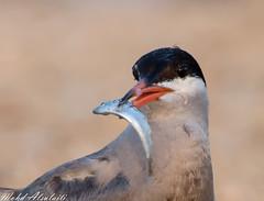 (mohd alsulaiti) Tags: bird canon fly arabic arab doha qatar qtr        mohdalsulaiti