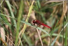 192-366, Feuerlibelle (m) (julia_HalleFotoFan) Tags: libelle feuerlibelle crocothermiserythraea segellibelle