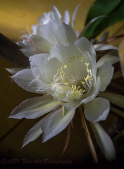 Night Blooming Cereus- Great Beauty Finding Its Expression Only When Things Seem The Darkest (porclein) Tags: flower night blooming cereus