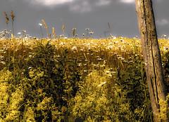 petite vire en campagne - 3 (photosgabrielle) Tags: photosgabrielle campagne countryside nature fleurs marguerites fence clture regionboisfrancs flower