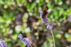 IMG_4899 (ElsSchepers) Tags: limburglavendel lavendelhoeve stokrooie kuringen hasselt natuur vlinders