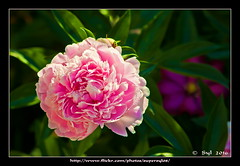 Jardin Fleuri... Flower Garden (Supersyl08) Tags: juin june supersyl 2016 printemps spring fleur flower pivoines peonies clmatites clematis