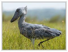 Shoebill Stork (Crested Aperture Photography) Tags: shoebillstork birds bird uganda ug mabambaswamp oiseaux aves mpigi kasanje