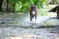 the big run (Tams Szarka) Tags: dog puppy pet playing running tongue boxerdog boxer animal outdoor nature forest nikon summer