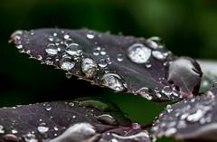 Drop By Drop. (Omygodtom) Tags: macromonday macro bokeh detail digital raindrop waterdrops outdoors tamron90mm nature nikon d7100 abstract