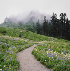 reasons to get out, part two (manyfires) Tags: flowers trees mist mountain film fog analog forest mediumformat square landscape spring paradise blossom hiking path hike hasselblad trail bloom pacificnorthwest wildflowers mtrainier pnw lupine hasselblad500cm mtrainiernationalpark