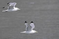 Black-legged Kittiwake fly-bye! (Cameron Eckert) Tags: gull kittiwake alaska seabird bird birding birder birdwatcher flight wilderness climatechange protectedarea park habitat ocean sea ice