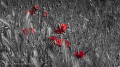Battlefield (fgarciavialard) Tags: bw field amapolas br red battlefield flower espaa verano summer spring poppies