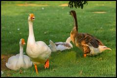 Ducks... (bodhijobs) Tags: duck ducks ef100400mm eos 7d lodi garden ndmc delhi birds