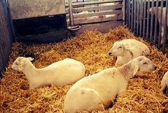 Un pequeo descanso (spawn5555) Tags: mexico photography nikon campo animales mascota descanso fotografa borregos ganadera d3000