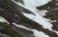 bouquetin (bulbocode909) Tags: nature suisse neige printemps valais montagnes bouquetins nvs ameillon
