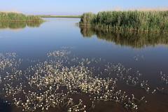 Salzensee, Ranunculus fluitans, Flutender Wasserhahnenfu (julia_HalleFotoFan) Tags: ranunculus fehmarn westermarkelsdorf ranunculusfluitans hahnenfus salzensee flutenderwasserhahnenfus