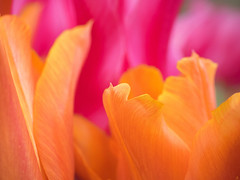 tulip tones (Piers Jacobs) Tags: pink flowers orange tulips olympus omd em1