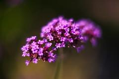 Purple Flower Cluster f1.2 (dennisgg2002) Tags: towerhillbotanicalgardenboylston massachusetts flowers vintage lens wide open