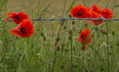 Barbed wire. (Trojan Wonder) Tags: barbed wire poppies feilds red black green buds rememberance