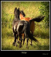 Wildlife (Renata1109) Tags: sommer pferde leben schnheit koppel herde
