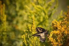 Sommerfugle (Dex Horton Photography) Tags: sommerfugle summerbird butterfly goldenrod grasslands britishcolumbia bc canada ca dexhorton