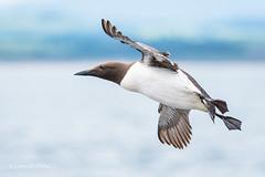Guillemot D50_2285.jpg (Mobile Lynn) Tags: wild england bird nature birds fauna wildlife northumberland gb farneislands guillemot coth