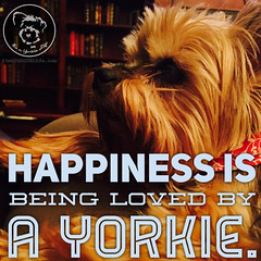 Its a deep and profound happiness, and I wouldnt trade it for... (itsayorkielife) Tags: yorkiememe yorkie yorkshireterrier quote
