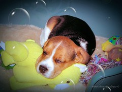 Dreaming of a little rest  (alogico) Tags: beagle relax little dream dreaming riposo rest pause relaxation sogno pausa atea alogico