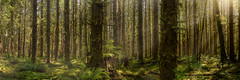 Enlightment (Explored) (Johndgordon) Tags: park trees light panorama sun mist sunshine misty forest giant moss hoh rainforest with cathedral pacific northwest pano ground panoramic national covered cedar inside rays olympic ferns hemlock pnw spruce panos