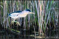 Blongios nain (j-cgeinoz) Tags: birds canon eos lac roseaux oiseaux