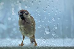 Rainy days are here (Sumarie Slabber) Tags: bird birding sumarieslabber philippines nature nikond750 wildlife wildbird rain raindrops glass raining outdoor animal