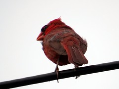 IMG_6055 (kennethkonica) Tags: red wild summer usa color bird nature animal america canon midwest cardinal random outdoor indianapolis wildlife feathers july indy indiana finch wires animalplanet global hoosiers canonpowershot marioncounty animaleyes aeaks