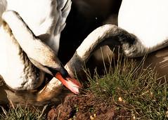 Eat your Greens (jayneboo) Tags: vegetables birds pond fuji shropshire feeding wildlife swans peas feed battlefield seeking sweetcorn odc