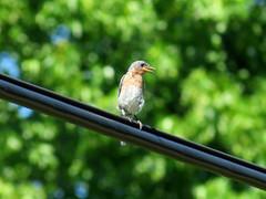 bluebird on wire (natureburbs) Tags: newjerseynature july summer nature greatswamp wildlife bird birding birdsinnewjersey bluebird